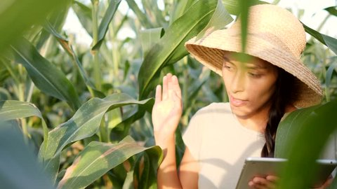 Young Farmer Woman Walking at Organic Farm Field and Checking Corn Quality Using Mobile Tablet Gadget. 4K, Slowmotion. Future Technology Agricultural Food Harvest Footage Concept.