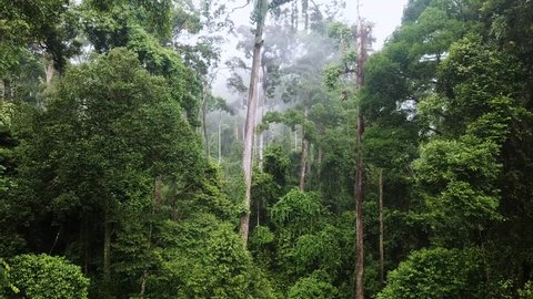 Aerial of Tropical Rainforest Dipterocarp Trees on Borneo Island