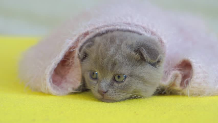 Gray lop-eared kitten hiding in a pink mohair. Scot. close up.