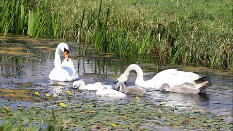 swan family searching feed in a small water ditch