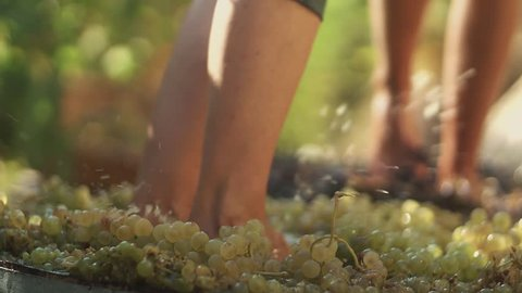 Two pair of unrecognizable men legs stomps grapes at winery making wine, close up sunny summer day outdoors