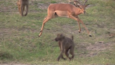 Agitated male impala grooming himself in the middle of a group of baboons in Chobe NP - Botswana 1080p