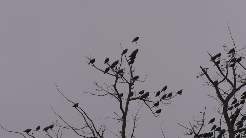 Birds on oak tree branches, winter cloudy sky, tripod fixed camera close up | Shutterstock HD Video #1008583798