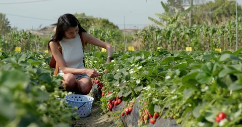Woman picking strawberry in field