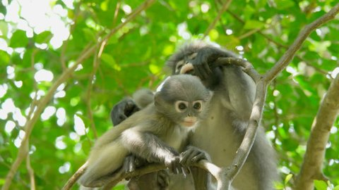 Cute young dusky leaf monkey, spectacled langur or spectacled leaf monkey is a species of primate in the family Cercopithecidae in the nature, Thailand.
