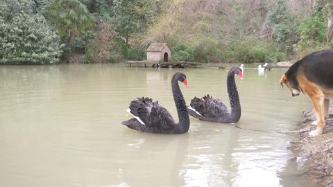 Two black swans swim in the lake. a pair of black swans protect their pond from the dog that sits on the shore. they are closely watching her. 4k, slow motion
