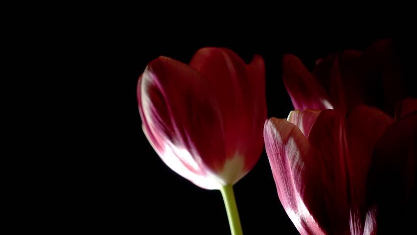 Pink tulips rotation loop on black background