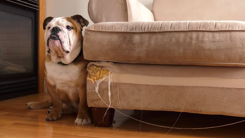 bad bulldog sits against his destroyed couch and walks away