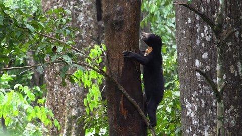 Sun Bear (Helarctos malayanus) Looking for Food