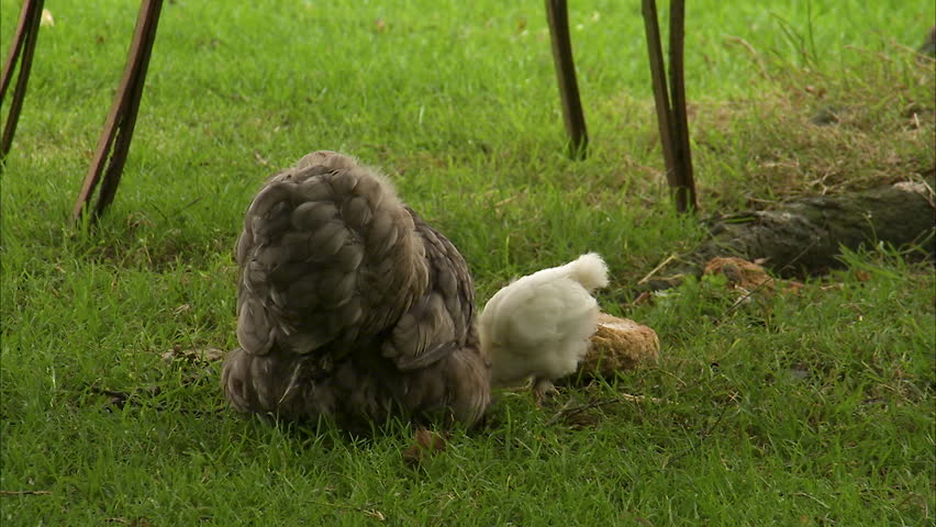 Chickens Eat Grass Footage Stock Clips