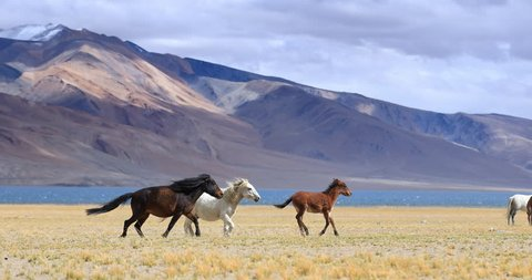 Horses run near Tso Moriri lake in Ladakh. Himalaya mountains on background, Travel destination in northern India video background