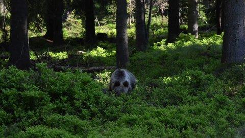 Carpathian Brown Bear