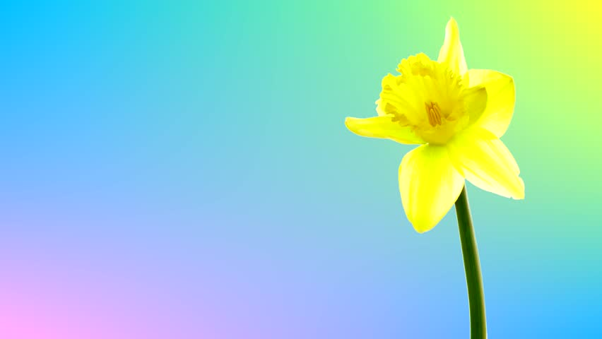 4K. Alpha Channel, luma matte. Spring Yellow Daffodil Flowers Blooming in Time Lapse. Narcissus. Symbol Easter Sunday. Text Space At Left. Greeting card. Colored Background which can be changed easily   Shutterstock HD Video #1008850688