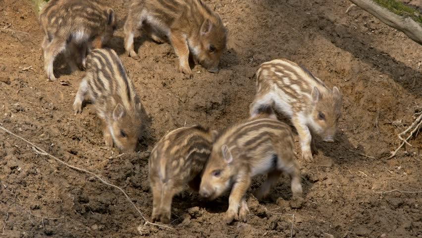 Wild boar piglets (Sus scrofa) fighting | Shutterstock HD Video #1008864998