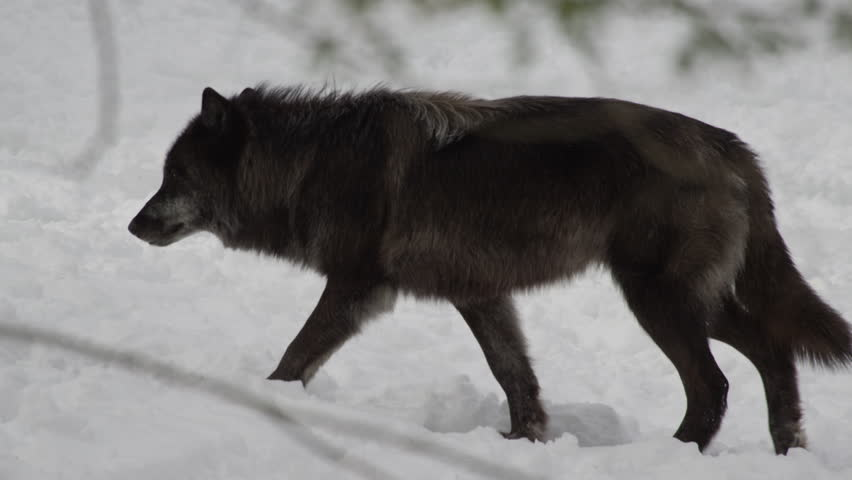 Black wolf walking off camera in winter forest