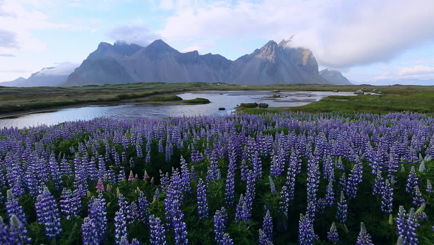 Blooming lupine flowers on the Atlantic coast. Location Stokksnes cape, Vestrahorn (Batman), Iceland, Europe. Amazing view. Beautiful nature landscape. Discover the beauty of earth. Full HD video.