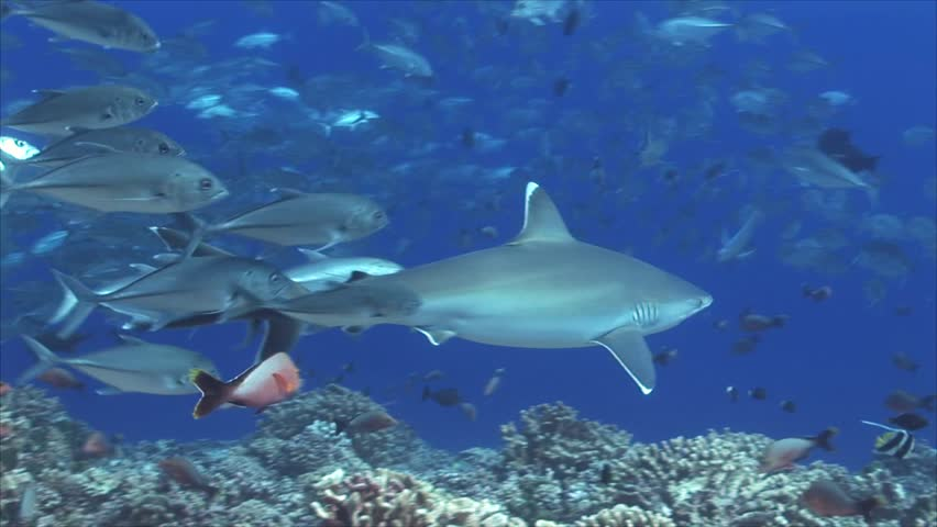 Silvertip shark on a coral reef chased by big eye jackfish/trevallies in clear water of the south pacific ocean, french polynesia