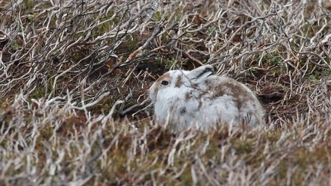 mountain hare, Lepus timidus, spring coat, moult against heather sitting and running on a mountain in the cairngorms national park, scotland.