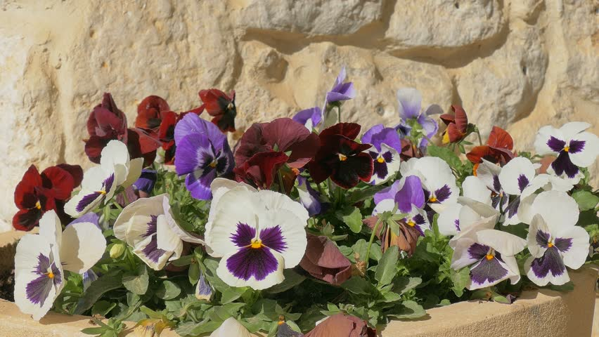 Many pansy flowers on flower bed at wind on rough stone background