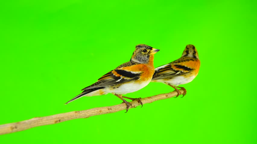 two Brambling (Fringilla montifringilla) sits on a branch and flies away, isolated on a green screen