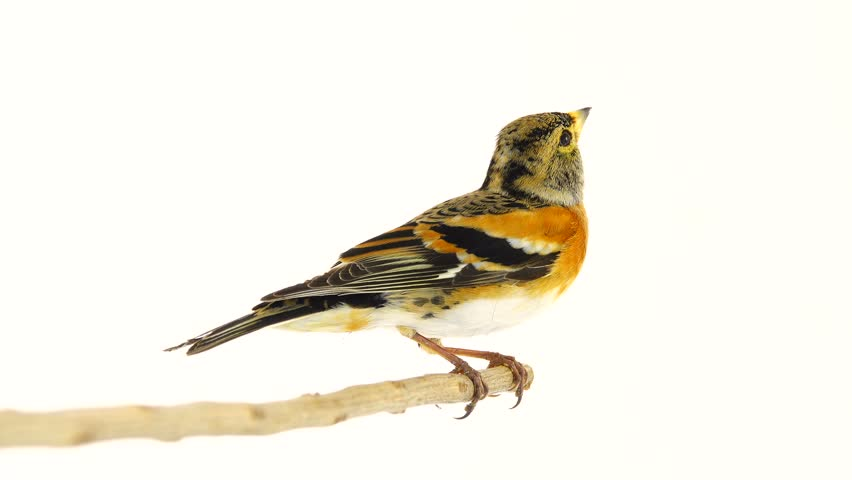 female Brambling (Fringilla montifringilla) sits on a branch and flies away, isolated on white screen