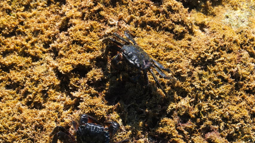 Carcinus maenas is an invasive species of Littoral crab spread widely throughout Europe and the rest of the world. Here crawling along a weed covered shoreline.