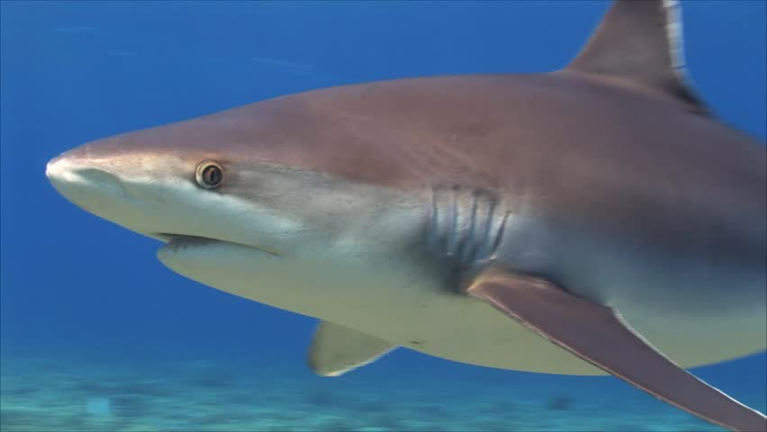 beautiful close up shot of silvertip sharks on a tropical coral reef in Rangiroa, French Polynesia during a shark feeding, shark dive while sharks are getting close to the camera