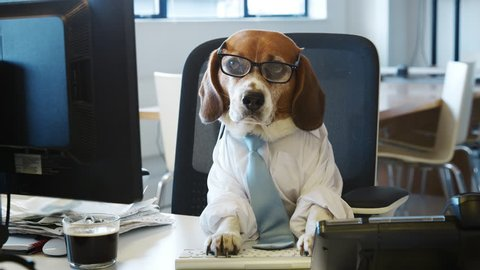 Smart beagle working at a desk in an office