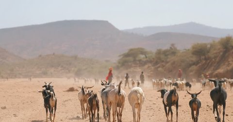 DIRE DAWA, ETHIOPIA - JANUARY 18, 2017: Somali Region of Ethiopia poor village people walking In the desert with goats and cow.