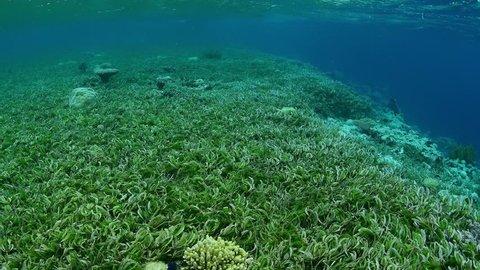 Sea grass bed and marine life in Wakatobi National Park, Indonesia.