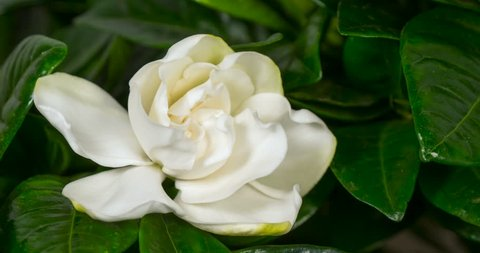 White flower opening time lapse. Gardenia Jasminoides or Cape Jasmine flower blooming on black background