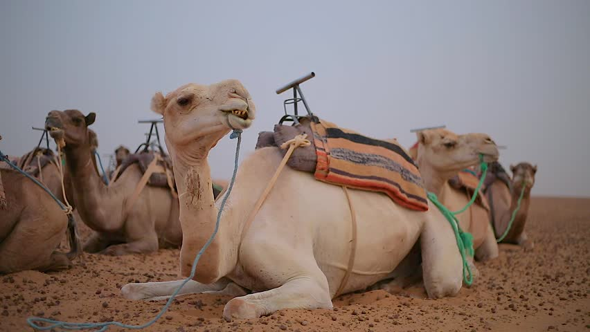 Camels in the desert resting in the sand. camel farm. camels lunch chewing in the Sahara desert. desert.