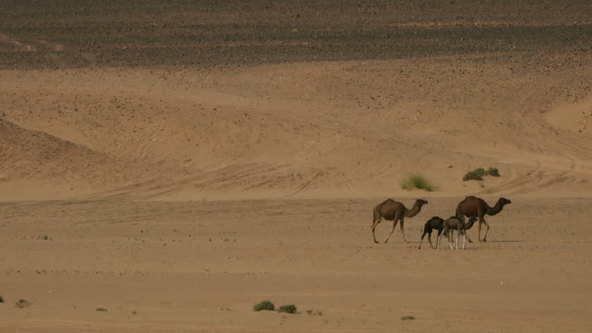 Group of camels walking in Sahara desert