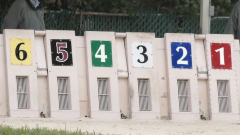 Greyhound dogs running out of starting box at race track