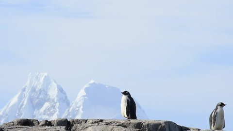 Gentoo Penguins on the bech