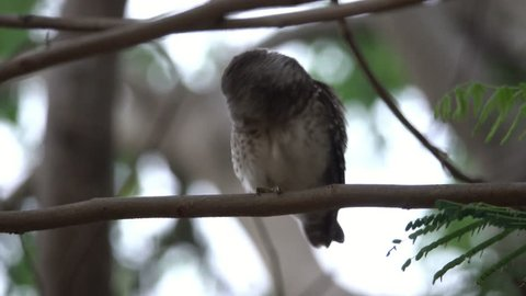 Spotted owlet bird scratching ear while perching on pine tree branch in the evening,4K video. Owlet beauty salon.