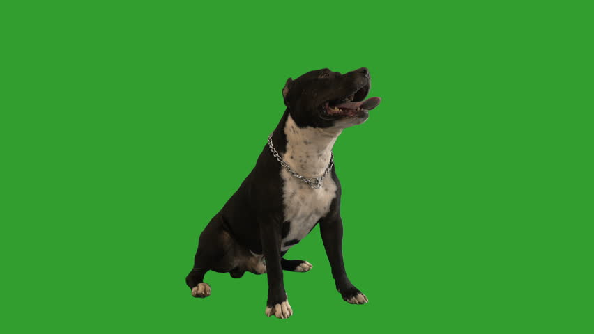 Staffordshire terrier sitting on the green screen #1009532438