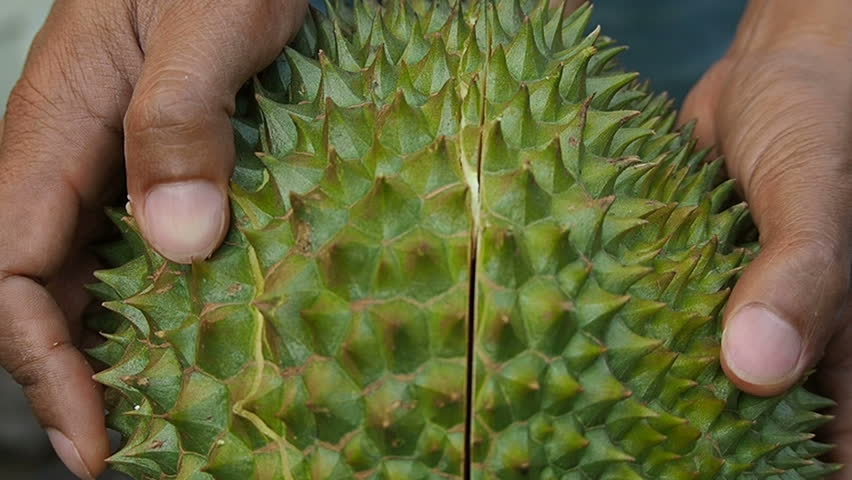 Durian peeling,The fruit was named king fruit,Green bark with sharp spines,delicious yellow fruit.