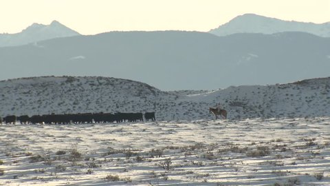 Cattle Herd Many Cows Winter Ranching Cowboy Roundup Livestock Cows