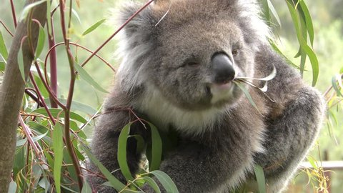 Koala Adult Lone Eating Browsing Australia