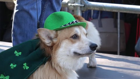 Celebration of St. Patrick day in Moscow. Corgi dog dresed in green color clothes and hat