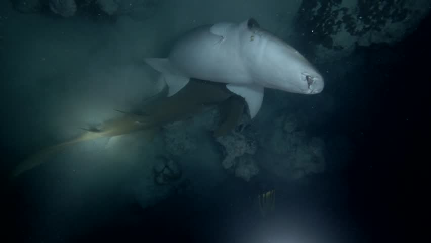 This is a unique video: Male Tawny Nurse Shark - Nebrius ferrugineus are trying to compulsion to mating of a pregnant female   Shutterstock HD Video #1009646198