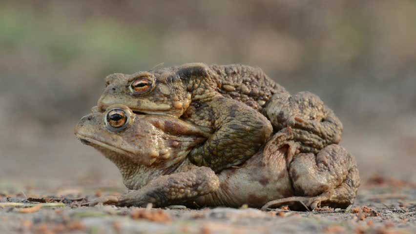 Bufo bufo The common toad, European toad, or in Anglophone parts of Europe, simply the toad is an amphibian found throughout most of Europe, collision, car, dangerous. Amplex, love #1009663868