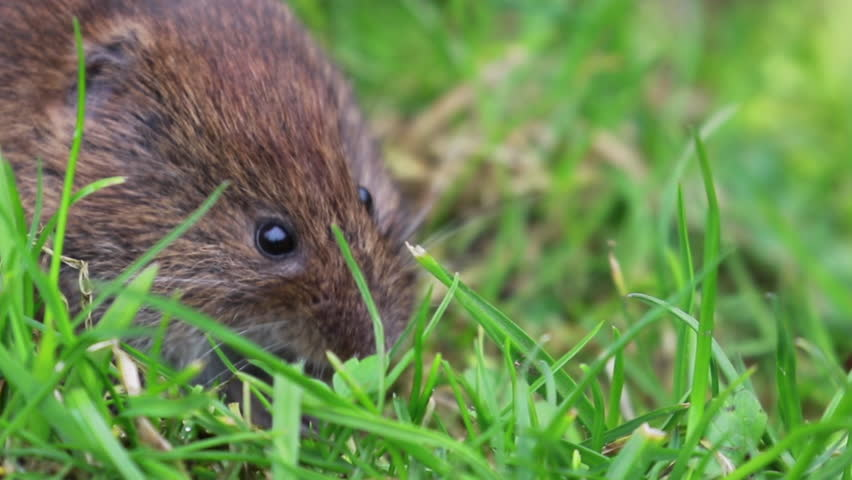 Header of Rodentia