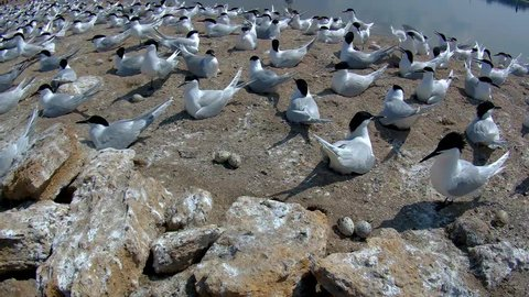 The Sandwich tern (Thalasseus sandvicensis) is a tern in the family Laridae. This is a medium-large tern, 37–43 cm (15–17 in) long with an 85–97 cm (33–38 in) wingspan.