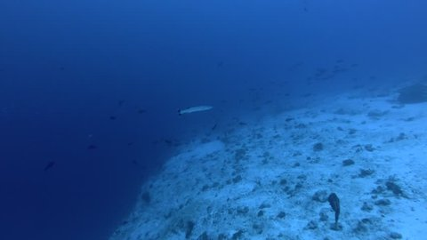 Two Great Barracuda - Sphyraena barracuda swim in blue water