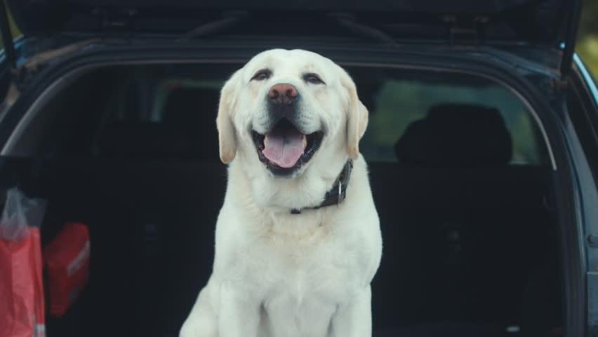 Golden labrador retriever dog sits in a trunk of a modern SUV | Shutterstock HD Video #1009762688