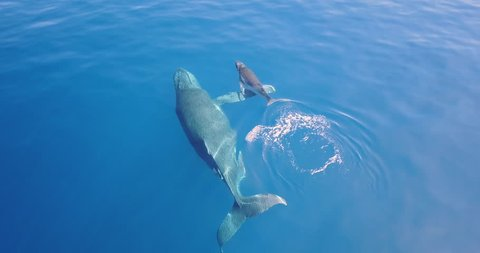 Aerial view of a whale in the ocean swimming next to its puppy, so that it can protect it, love it and let it grow.