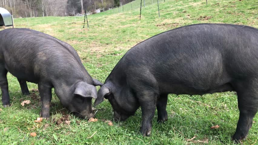 Black Pigs eating and fighting in farm pasture  | Shutterstock HD Video #1009848218