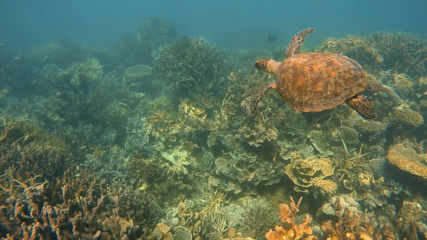 A slow motion underwater shot of a big sea turtle swimming above coral reef and small fish.